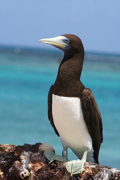 24. This is a photo from the internet of a adult brown booby.  Many flew over Joyful from Panama to Bora Bora, and they are a welcomed sight in Bora Bora, too.