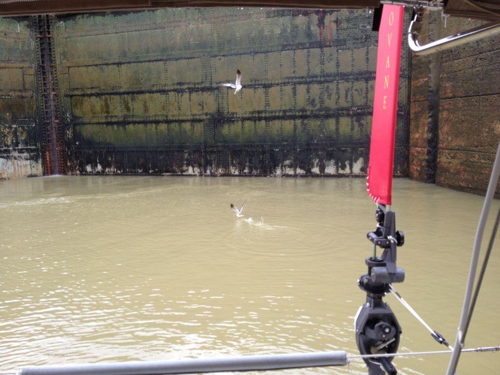 82. Birds in the upper Miraflores lock doors caught fish.