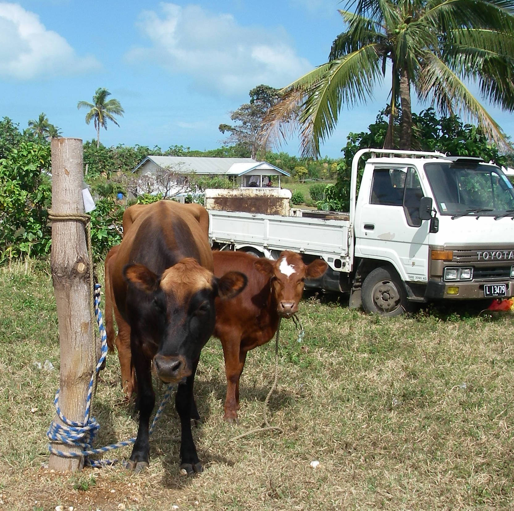 110. These handsome bovines thank you for learning about their agricultural show, and hope you visit them someday in Tonga!
