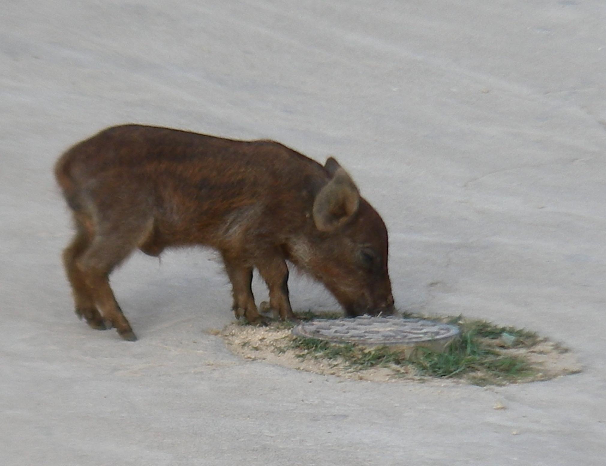 70. A cute Tongan piglet