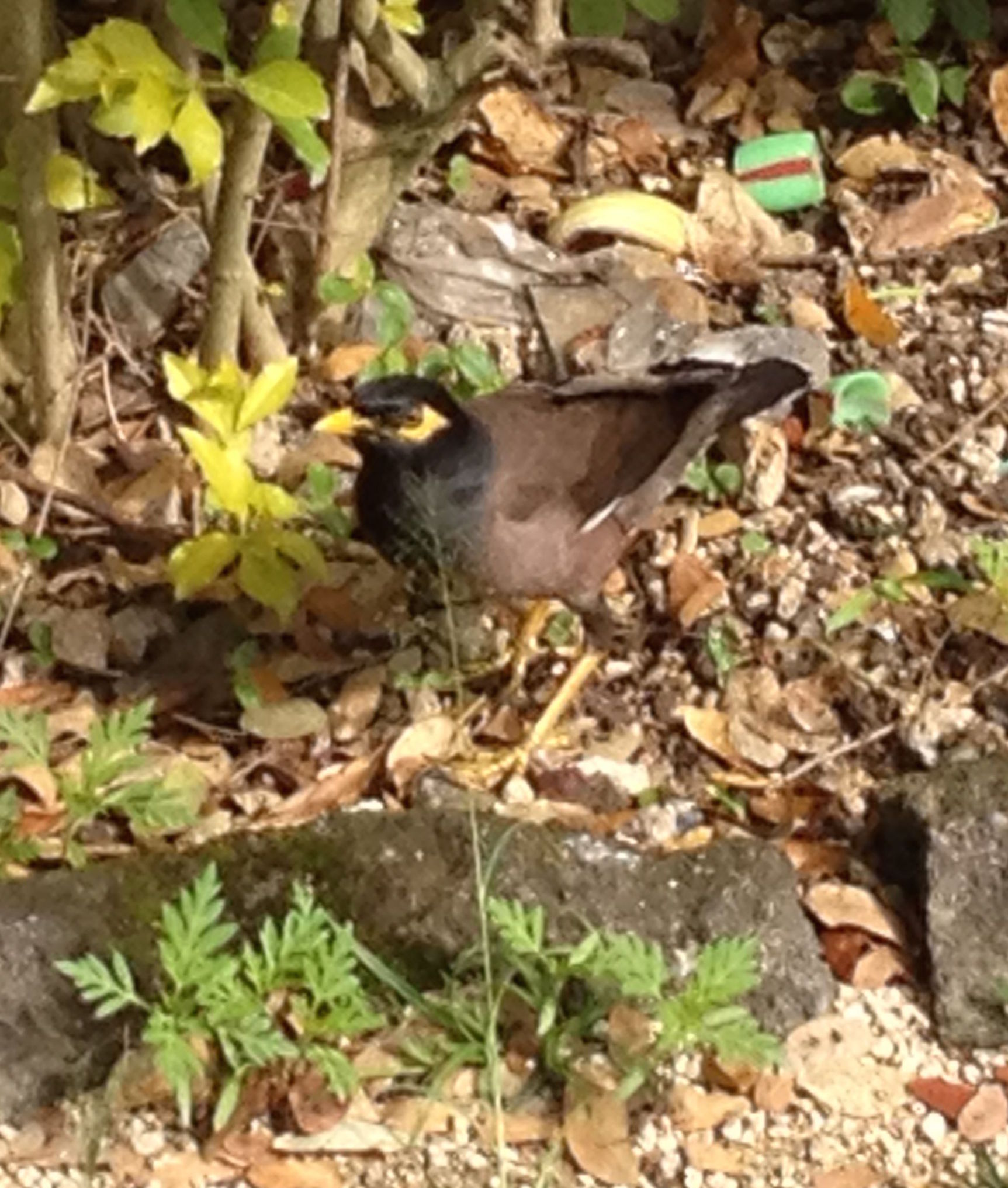 87-we-saw-this-friendly-wild-bird-almost-every-day-near-joyful-in-vanuatu-it-is-a-type-of-myna-but-might-be-the-invasive-species-type