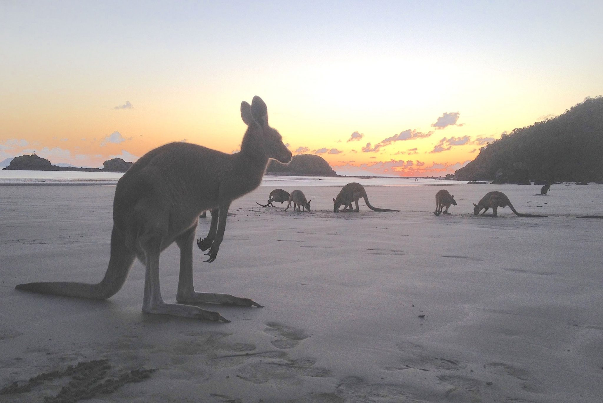 13. This is just a sneek preview of what extraordinary things you will see in this blog entry. Kangaroos and wallabies, one with a joey in her pouch, at sunrise on Cape Hillsborough, Aus