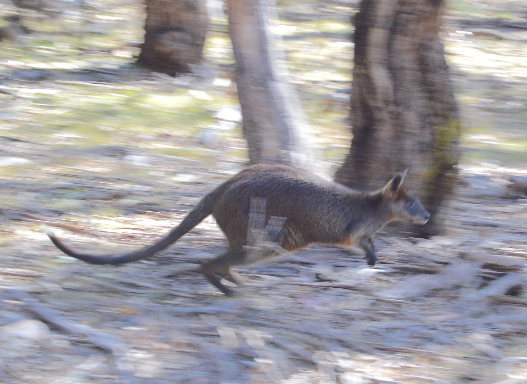 134.7. A wallaby with her joey in her pouch jumps through the eucalyptus trees on Phillip Island, Australia