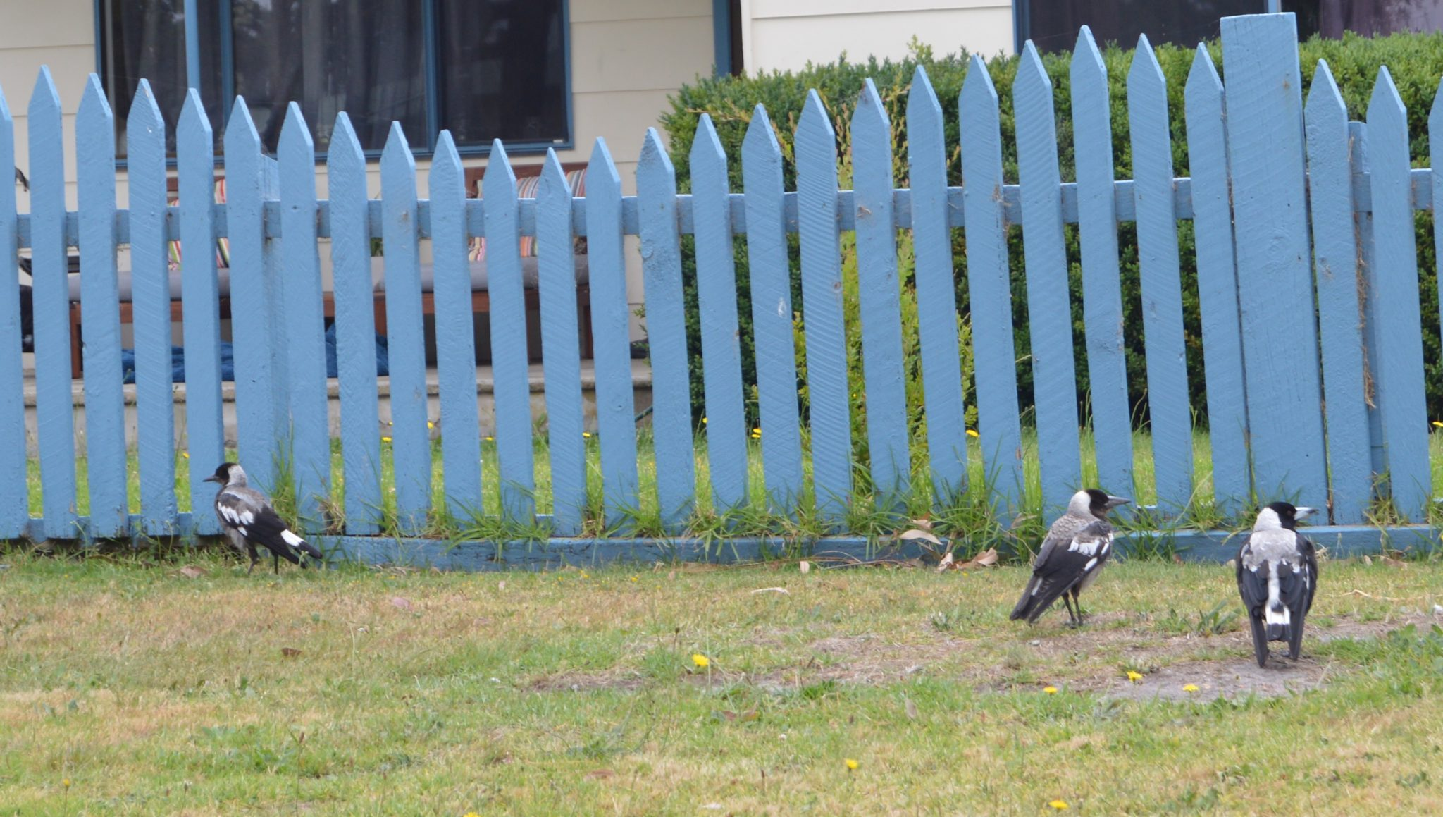 142. These wild birds, perhaps magpies, were in Wonthaggi, Victoria, Australia in December 2015.