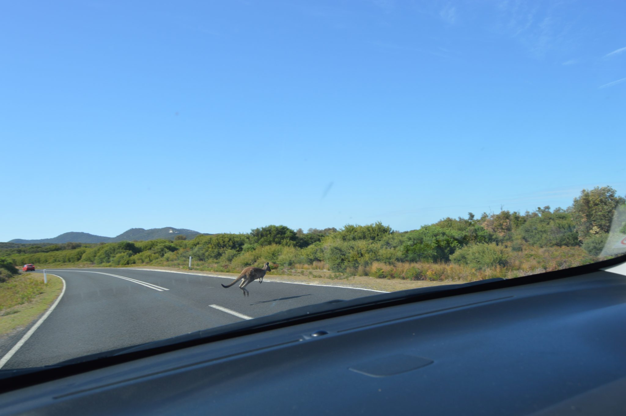 151.3. Sometimes a car cannot avoid hitting a kangaroo jumping across the road. Thank goodness the timing was right for this kangaroo and for us!JPG