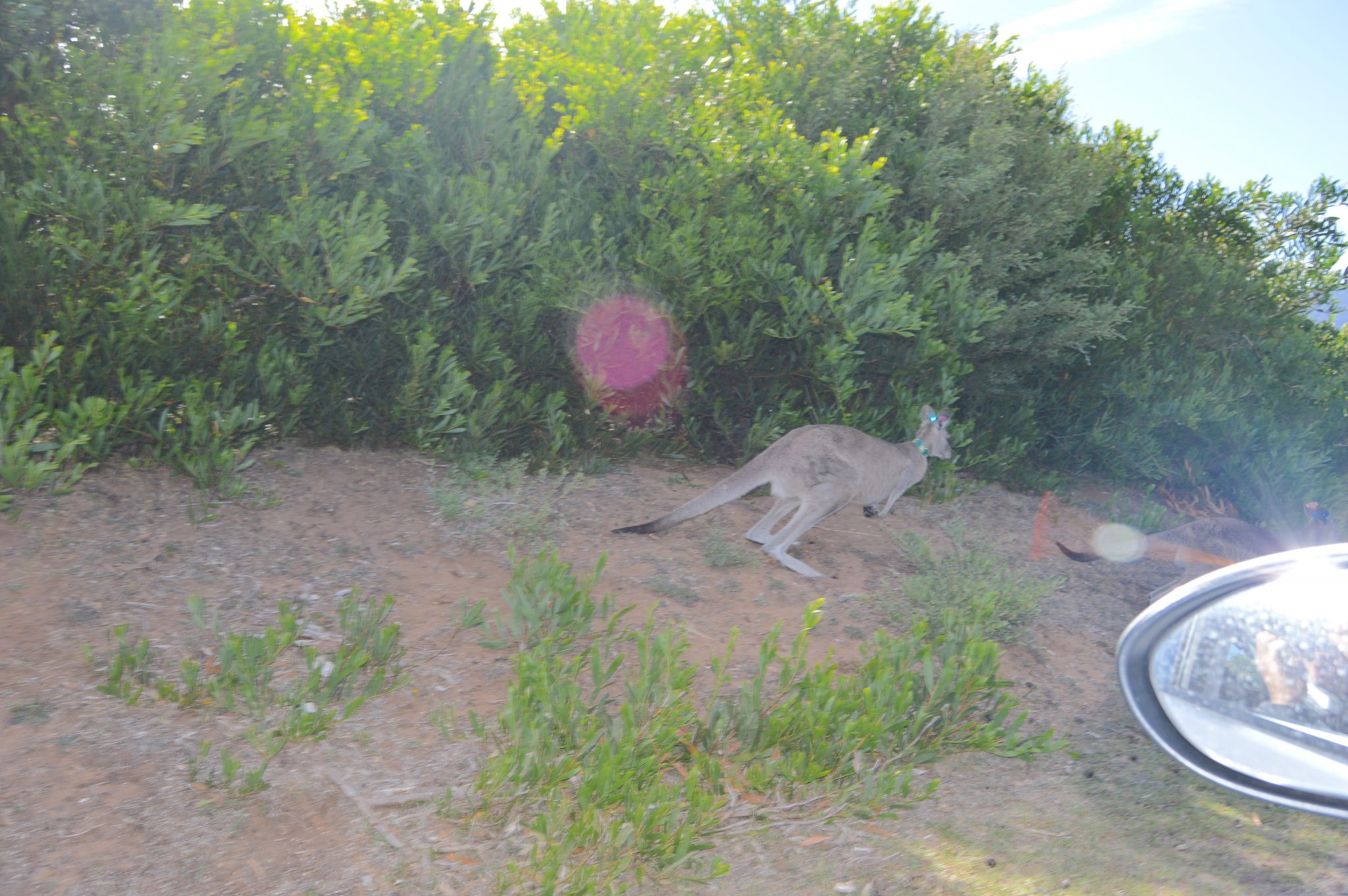 152. This kangaroo suddenly jumped in front of our car