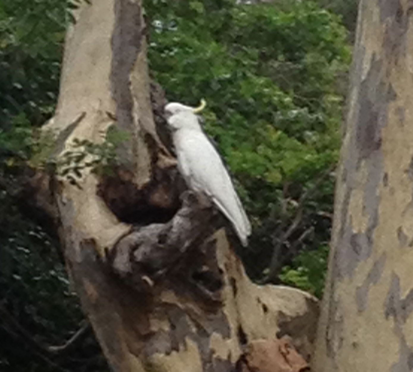 27. Birds - Cockatoo in Mona Vale, Pittwater, Australia, November 2015