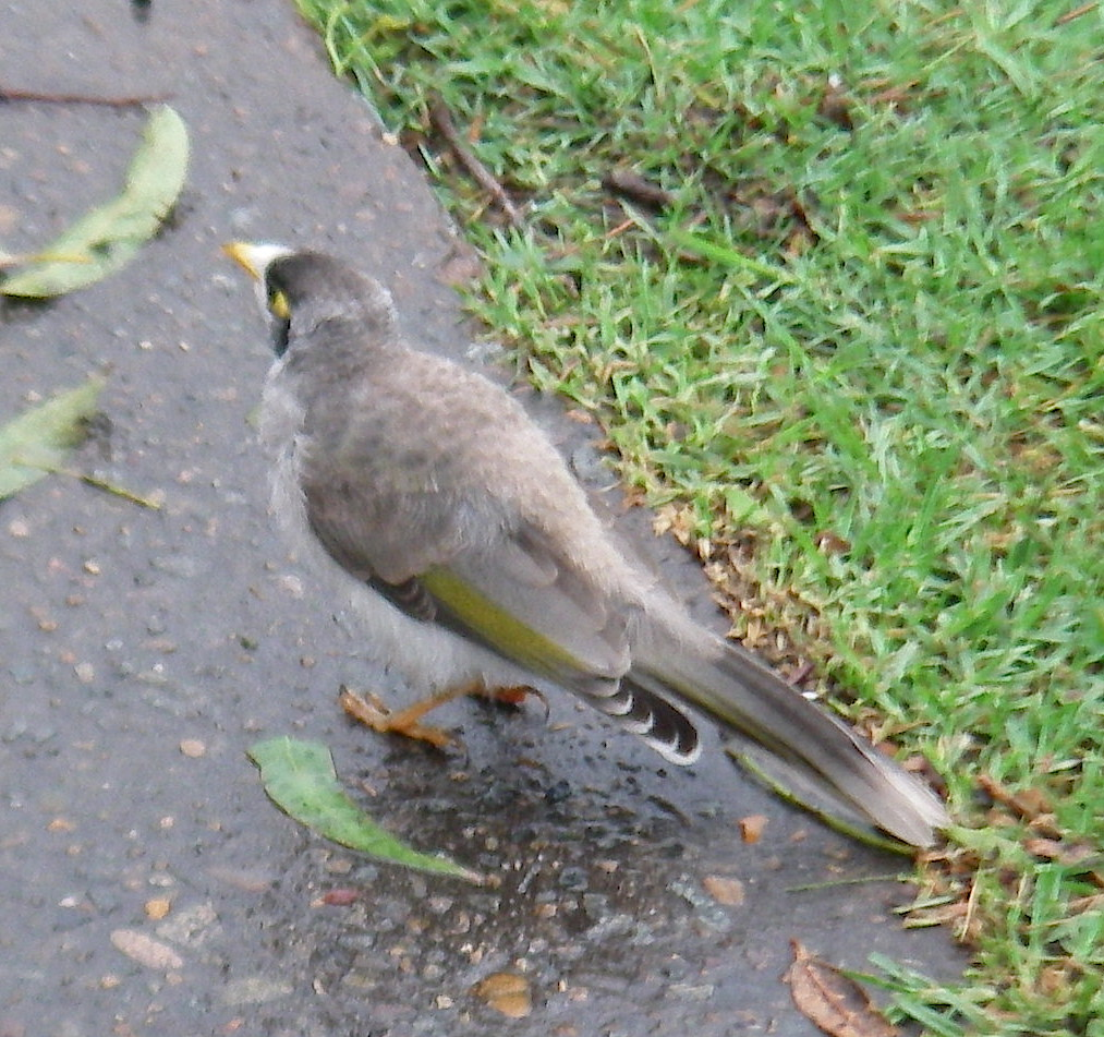 30. Bird - A bird with a yellow beak, and yellow around his eyes in Mona Vale, Australia, in November, 2015