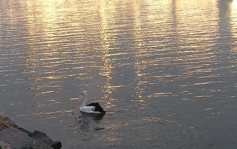 35. A pelican in Southport, Australia