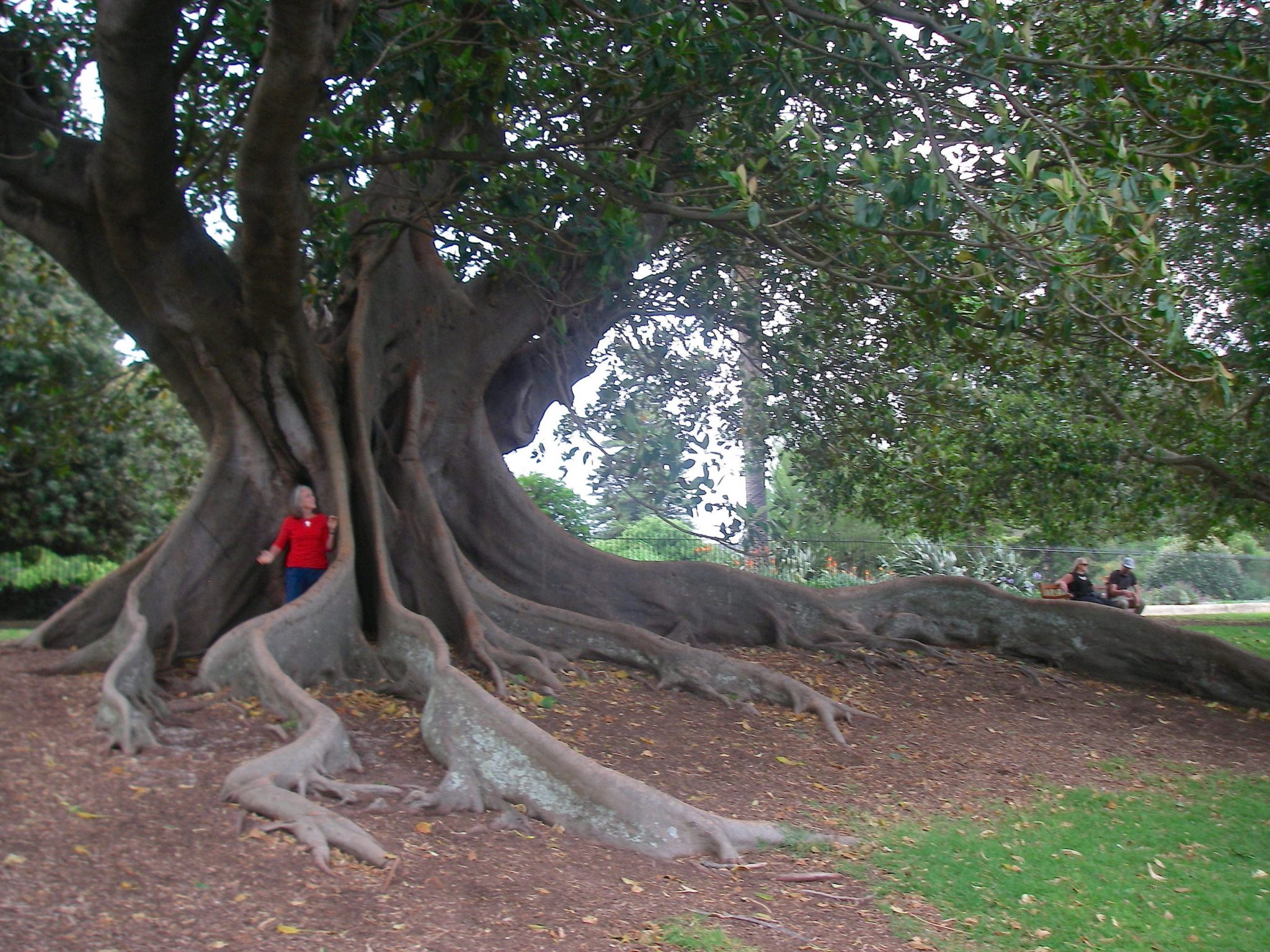 51.2.1. Anne is dwarfed by a magnificent Mortan Bay Fig Tree in the Sydney Botanical Gardens copy