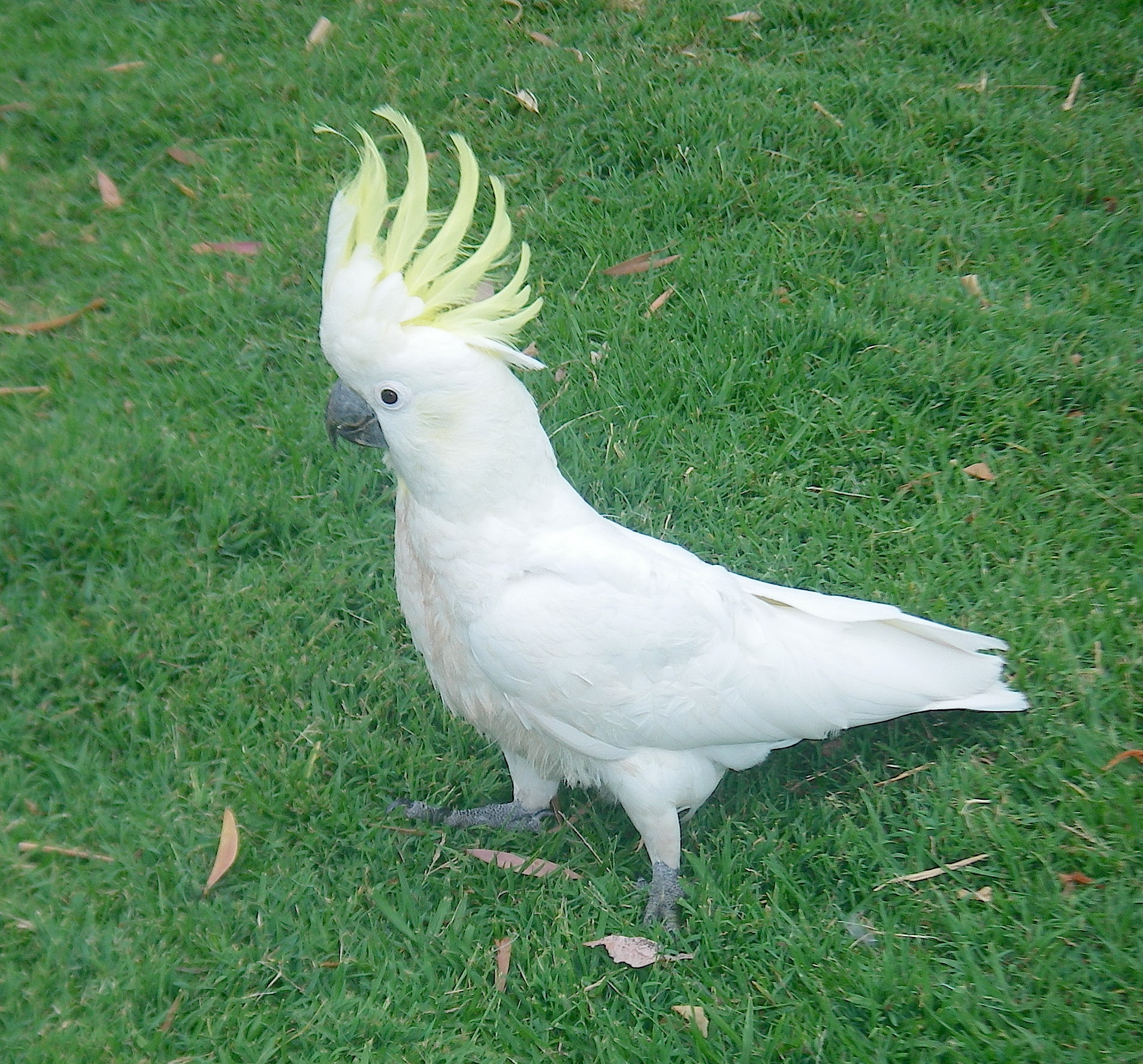 51.2. Birds - A yellow crested cockatoo warns another bird to stay away in Sydney, Australia, November 2015