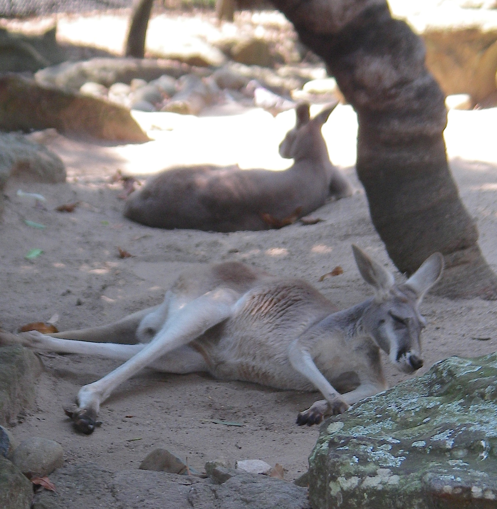 58.7. Kangaroos sleep lying down