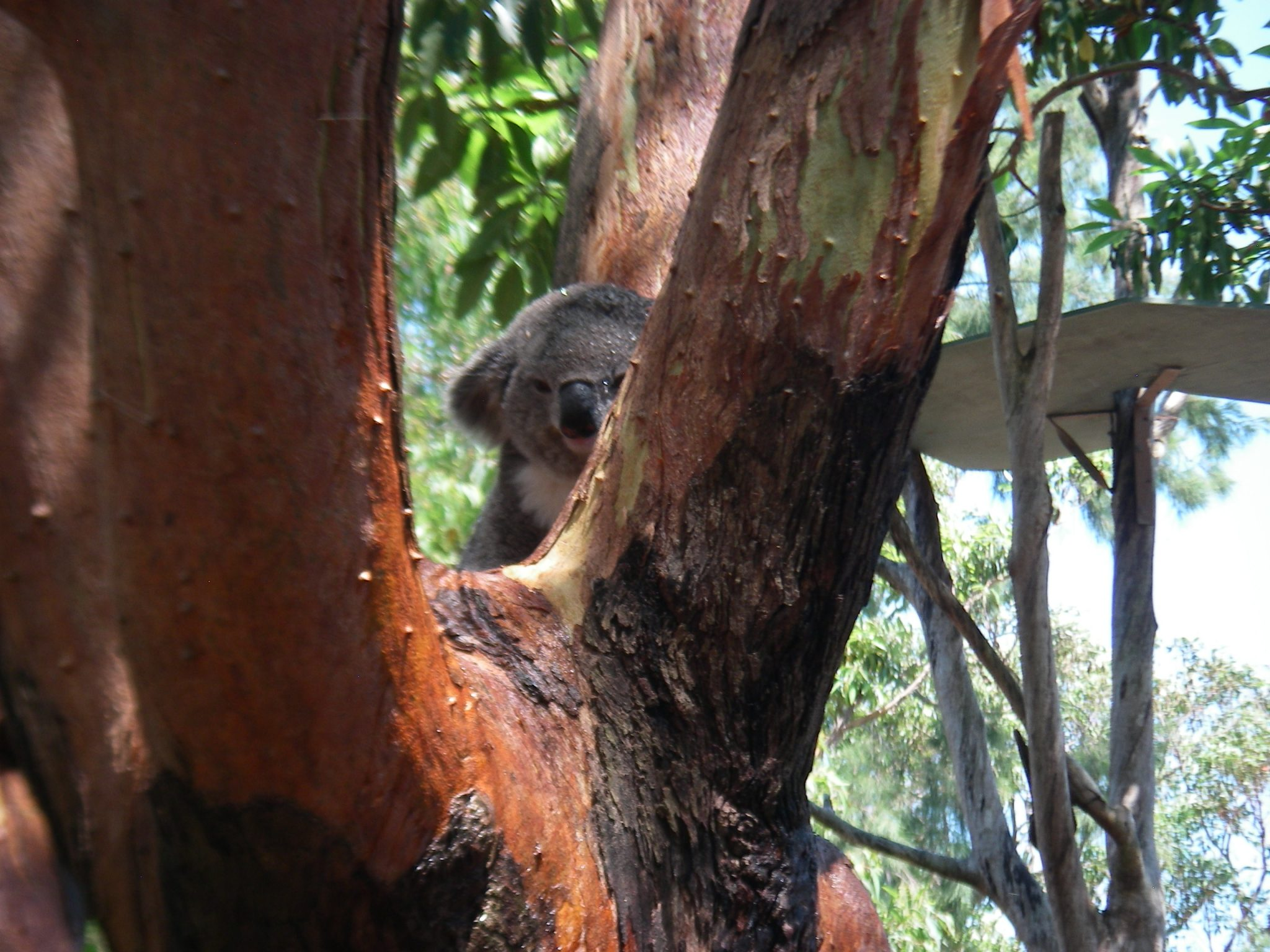 59.1. A koala waking up to eat some Eucalyptus leaves. Koalas sleep about 22 hours a day!