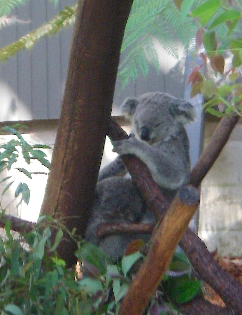 59.2. Koala