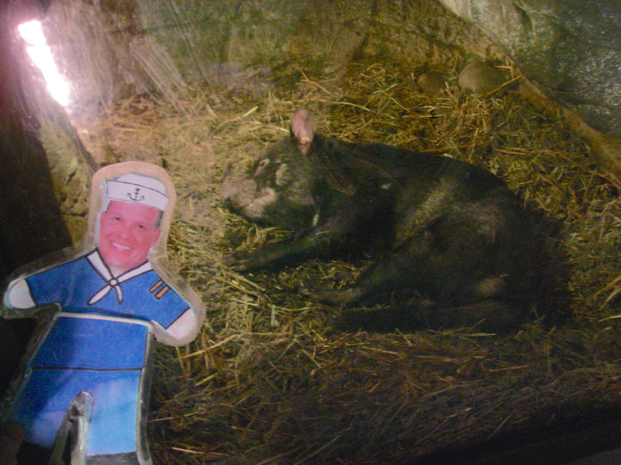 61.2. Flat Mr. Davis saw a sleeping Tasmanian Devil in the Toranga Zoo in Sydney